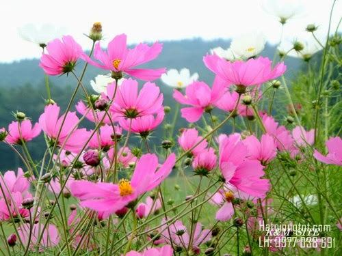 Hạt giống hoa sao nhái