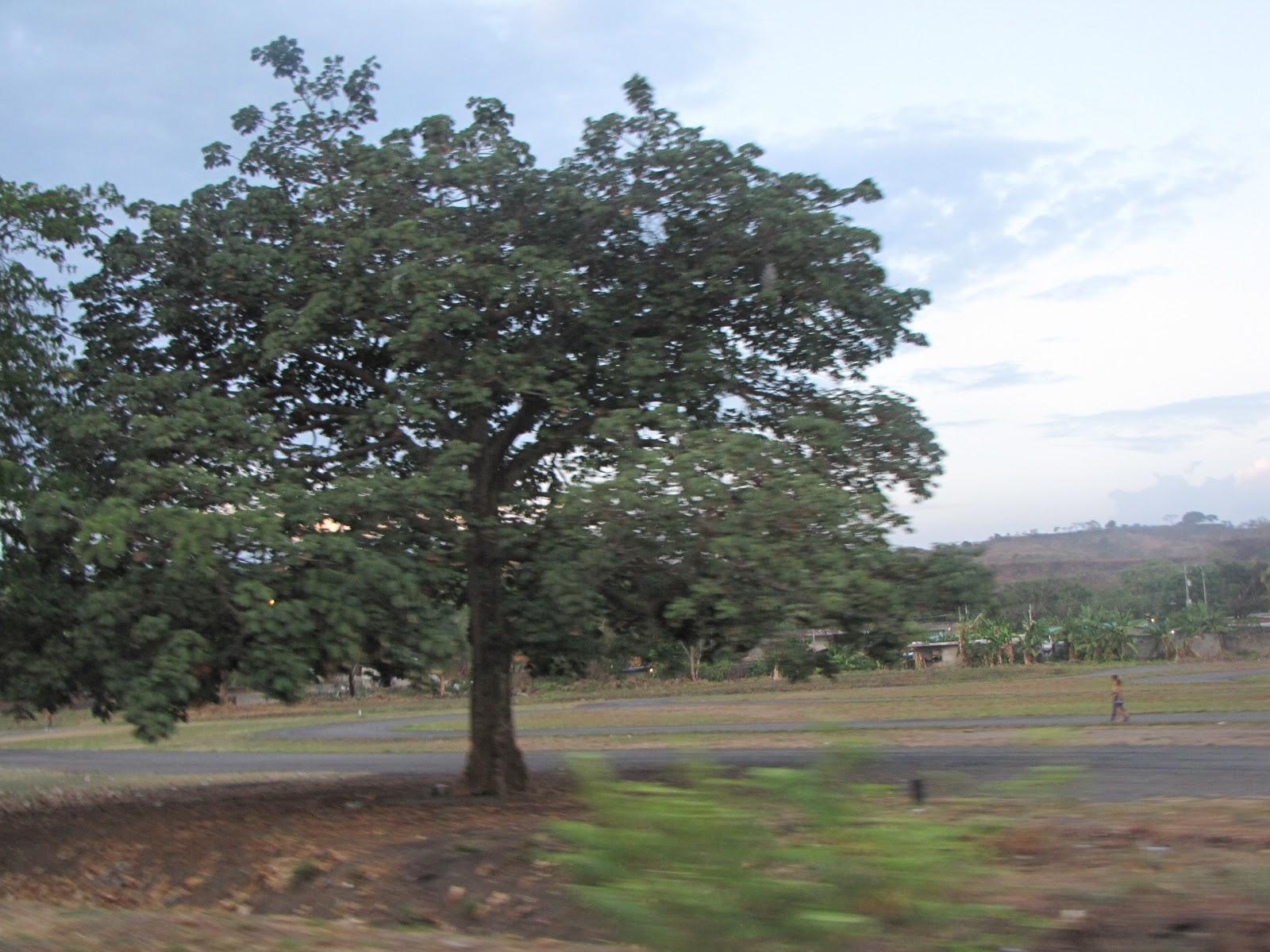 Llano extremo arboles del rea urbana de guanare primera for Tipos de arboles y caracteristicas