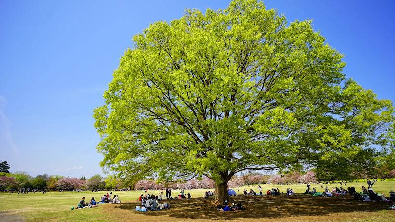 昭和記念公園 桜 写真8