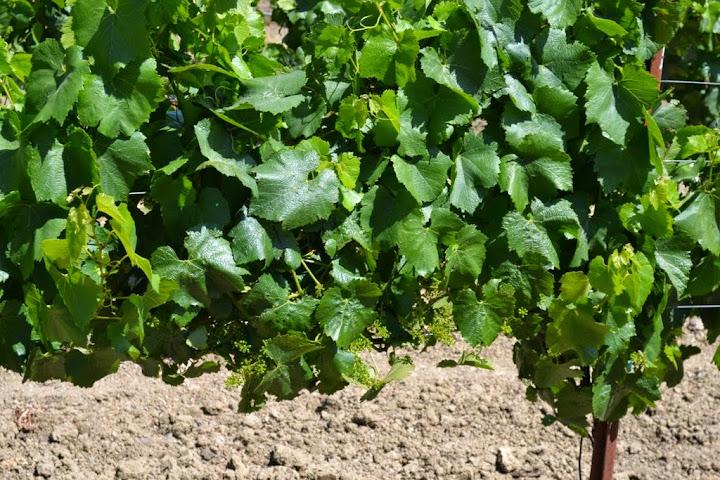 grapes in may
