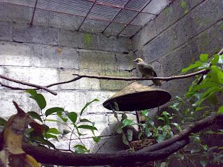 kicau+burung+Cucak+Rowo Menjaga Kemurnian Suara Cucak Rowo