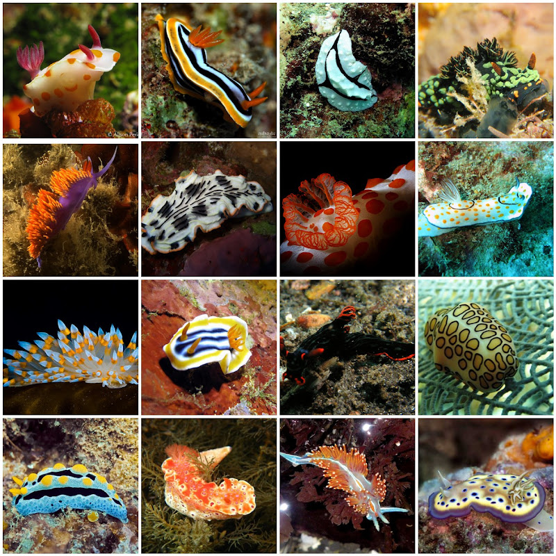 Nudibranch Photo Collage