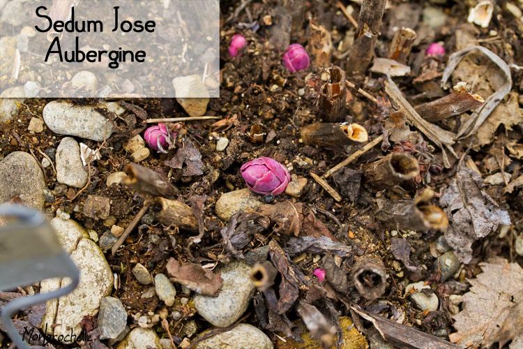Sedum Jose Aubergine  ( grand sedum ) Sedum-jose-aubergine-120404_29RM