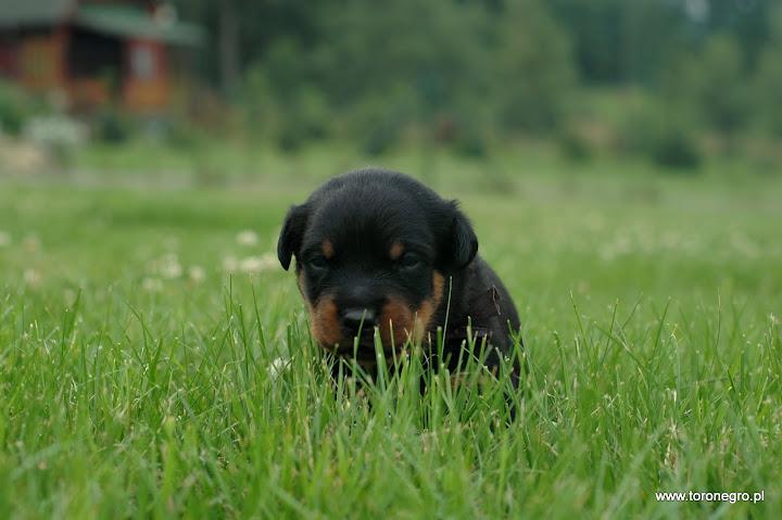 Szczeniak w trawie piękny