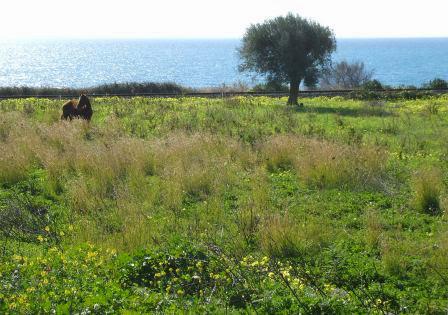 Pferd und Olivenbaum am Ufer des Ionischen Meeres bei Bovalino Marina, Kalabrien, Italien
