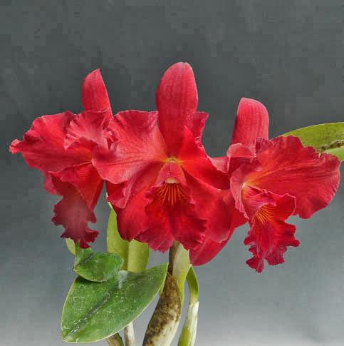 Hoa lan cattleya màu đỏ
