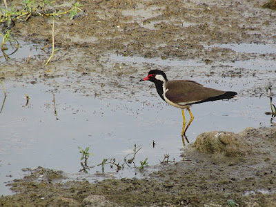 27-Apr-2012 Red wattled Lapwig
