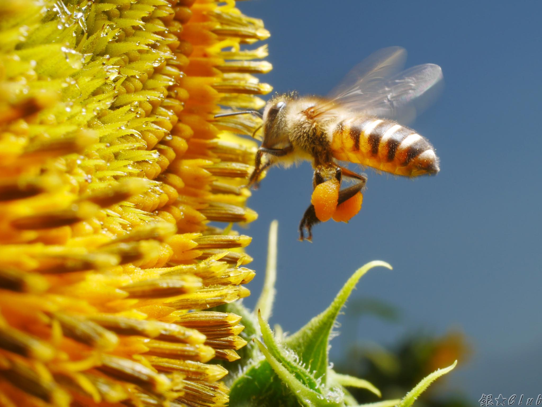 小蜜蜂的飛行