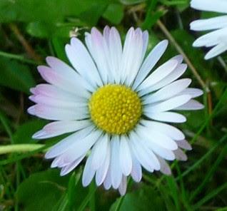 Stokrotka pospolita kwiatostan, kwiat Bellis perennis flower