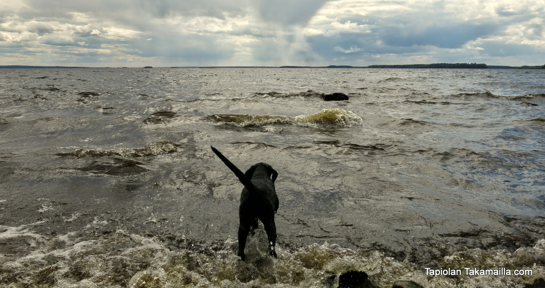 labradorinnoutajan pentu aallokossa