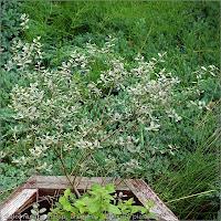 Salix repens subsp. arenaria habit - Wierzba piaskowa pokrój młodej rośliny