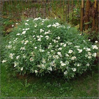 Tanacetum cinerariaefolium - wrotycz dalmatyński pokrój kwitnącej rośliny