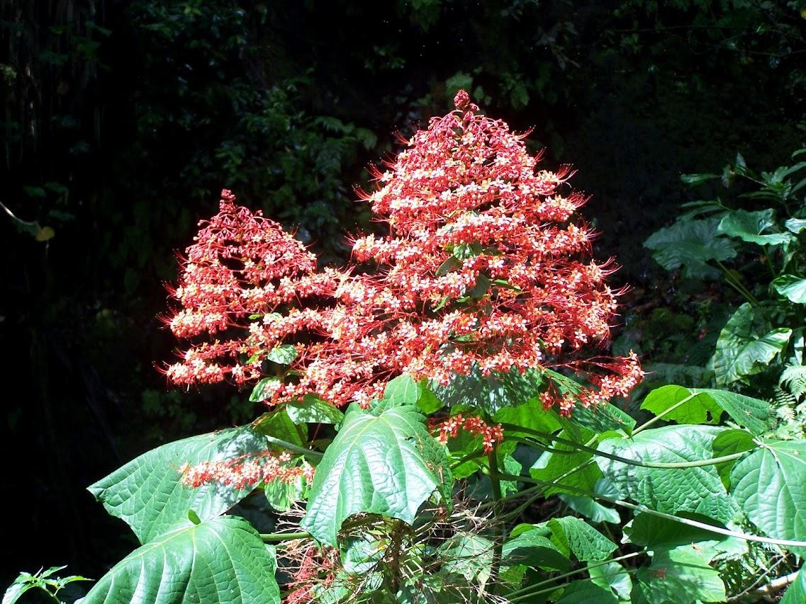 identification:plante a fleur origine cap vert:Clerodendrum speciosissimum 100_0415