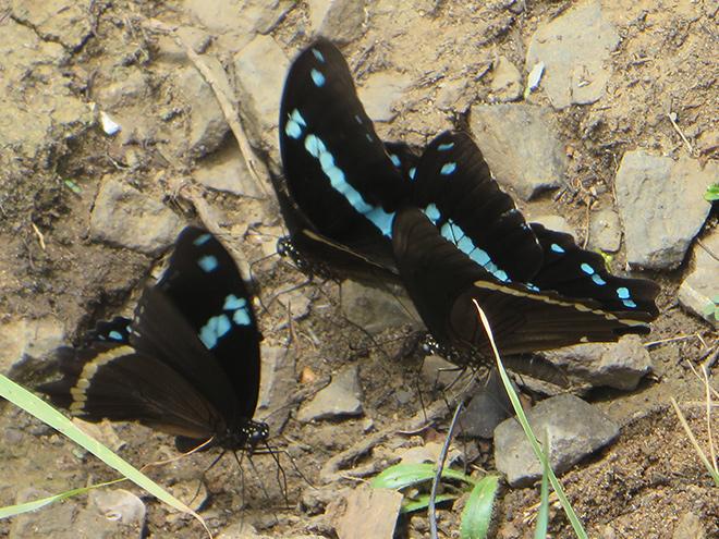 Papilio epiphorbas, iSimangaliso Wetland Park, Zuid Afrika