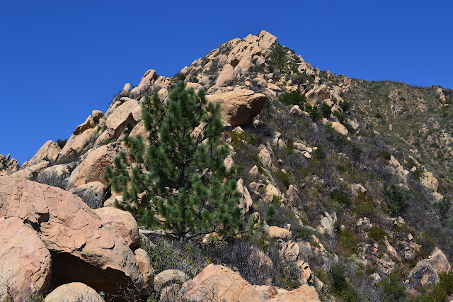 two pine trees along the rocky ridge line