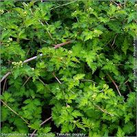 Stephanandra incisa 'Crispa' - Tawulec pogięty liście i pędy