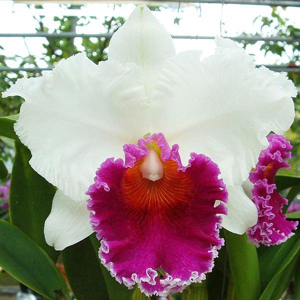 Растения из Тюмени. Краткий обзор - Страница 11 Orchid_Plant_Blc_Memoria_Tiang_Pipop_