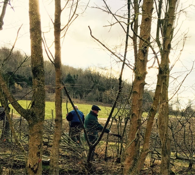 laying live hawthorn hedge at Weald and Downland Open Air museum
