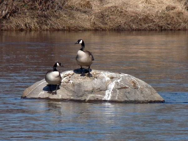 geese on a river rock