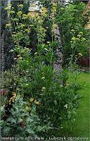 Levisticum officinale habit - Lubczyk ogrodowy pokrój kwitnącej rośliny