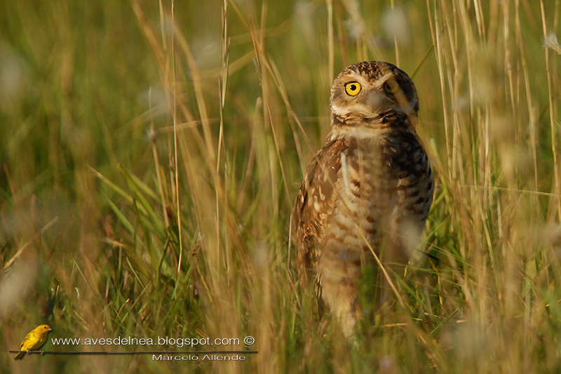 Lechucita vizcachera (Burrowing Owl)