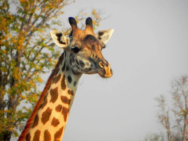 أفضل ما في أفريقيا  Best of Africa Giraffe