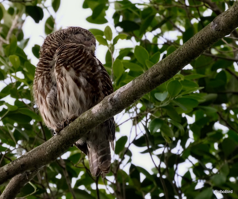 Asian Barred Owl (redo)