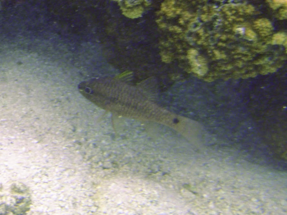 Apogon kallopterus (Iridescent Cardinalfish), Aitutaki.