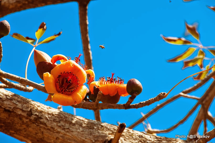 Пчела летит на Бомбакс Индийский. Цветы и деревья Израиля.