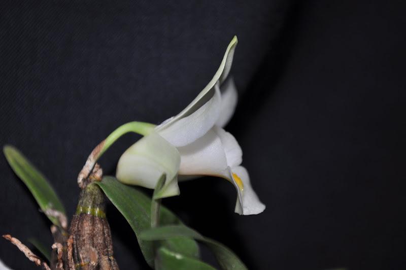 Dendrobium margaritaceum DSC_0004-001
