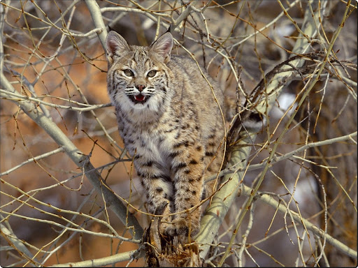 Bobcat in Tree.jpg
