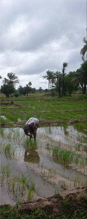 Trabajando en el arrozal - Darsalam