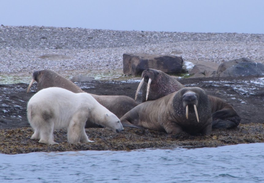 Urso pardo vs Urso polar - Página 2 Walrus-background-8