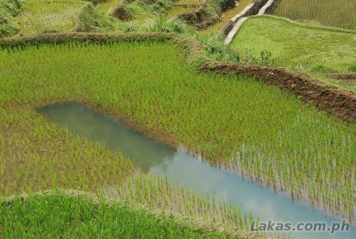 A rice paddy with a trench in the middle