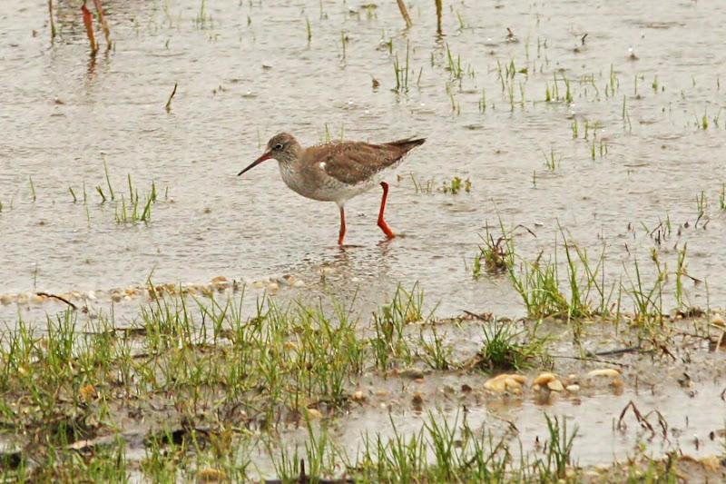 Fluierar cu picioare rosii COmana pasari ploaie birdwatching