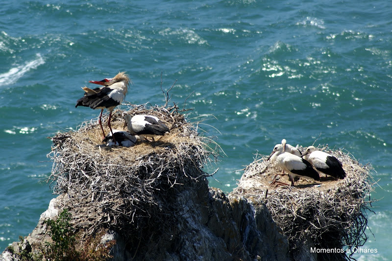 Ninhos de cegonhas com crias, Cabo Sardão