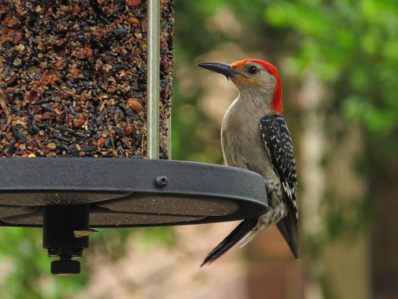 Suet Newbie - Buscando consejos - pájaros en el patio trasero, alimentadores, alimentos - Whatbird Community Board