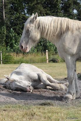 Thème de Mai 2013 : Le Cheval en pleine sieste!! IMG_4157