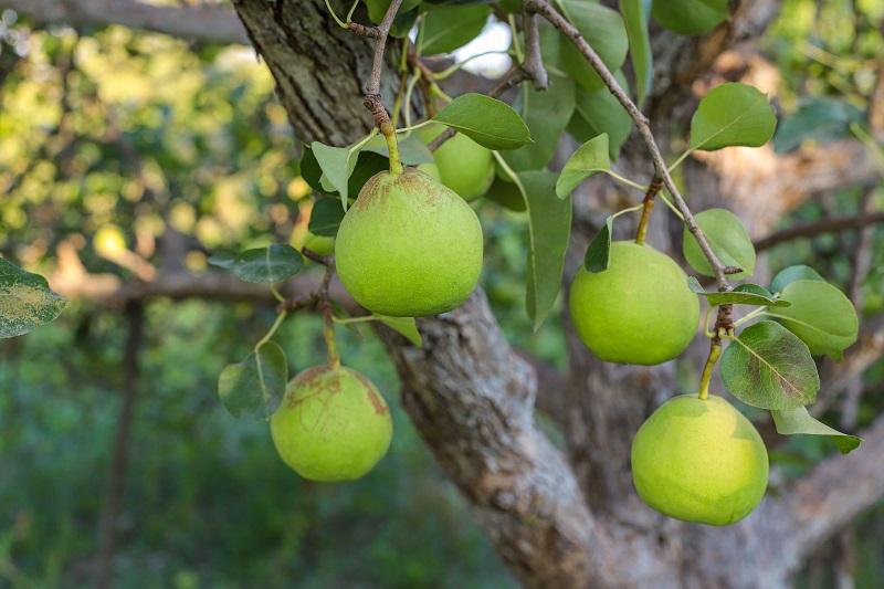 Pera é opção de cultivo também em clima quente