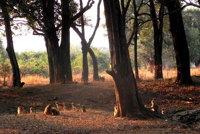 أفضل ما في أفريقيا  Best of Africa Baboons
