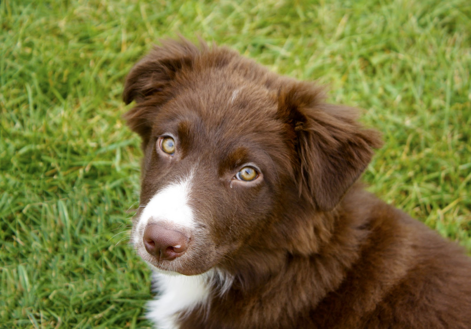 Australian Shepherd Puppy: Riley | Jr's World At Large