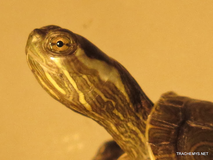 mes tortues (BK) - Page 12 IMG_4065