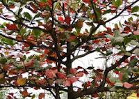 Cây bàng lá đỏ - ký ức tuổi thơ