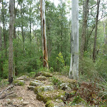 Mossy rocks and tall forest north of or Ourimbah Creek (368761)