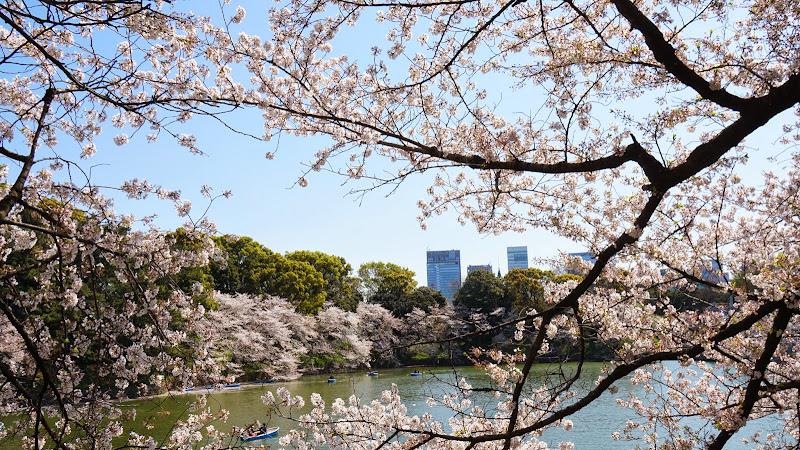 千鳥ヶ淵 桜 写真15