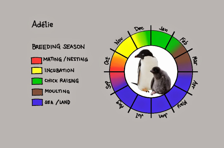 ![Breeding cycle of adelies](https://lh5.googleusercontent.com/-aHrUT_fhQ0A/VDgHkQcHmGI/AAAAAAAAHL8/deAJtWau9qM/s720/ysh_Adeliex.jpg)