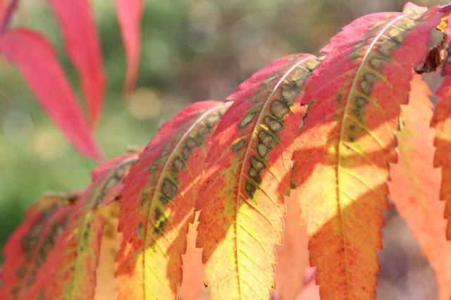yet more sumac leaves