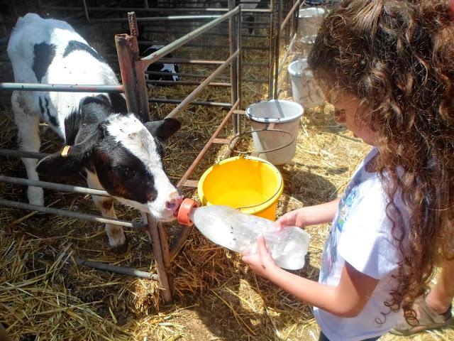 שביל פרות החלב שבבית לחם הגלילית- חוויית רפת מוו-ש...