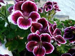 Plantamer geranios en primavera y tipos - Geranio de pensamiento ...