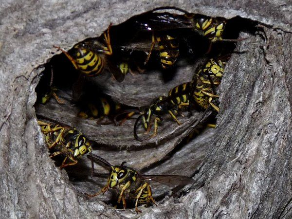 yellow jacket nest entrance
